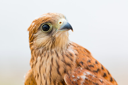 falconry: Portrait of a young kestrel with a beautiful plumage