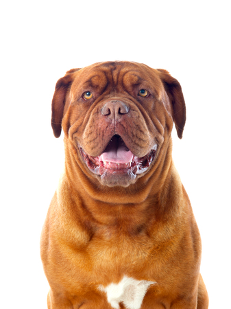 Close-up of Dogue de Bordeaux isolated on a white background 版權商用圖片