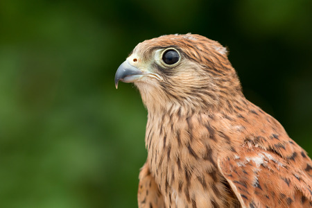 europeans: Portrait of a young kestrel with a beautiful plumage