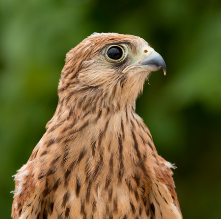 profile: Portrait of a young kestrel with a beautiful plumage