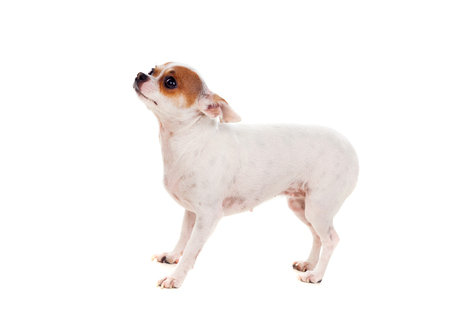 Small dog isolated on a white background Stock Photo