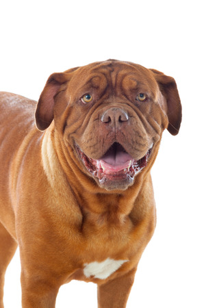 Close-up of Dogue de Bordeaux isolated on a white background Stock Photo