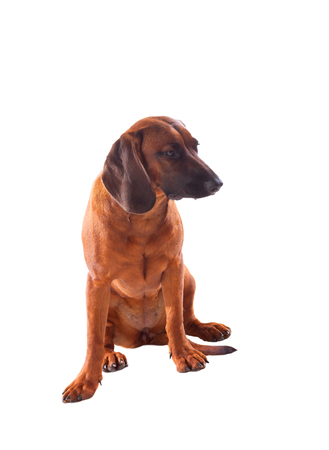 bloodhound: Brown hound of Bavarian isolated on a white background