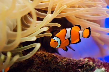 Tropical reef fish. Beautiful red clownfish macro Archivio Fotografico