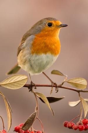 Uccello abbastanza con una bella piuma arancione arancione su un ramo pieno di bacche rosse Archivio Fotografico