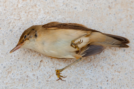 Dead small brown bird in the street 版權商用圖片