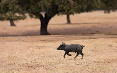 Iberian piggy running among the oaks in the field of Extremadura Stock Photo