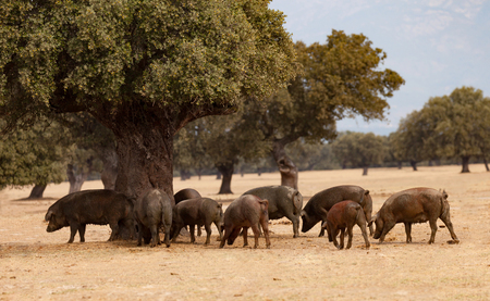 black moor: Iberian pigs grazing among the oaks in the field of Extremadura