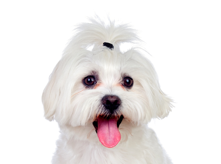 Portratit of a white dog with a pigtail Maltese bichon