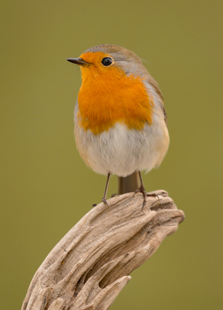 europeans: Pretty bird With a nice orange red plumage in the nature Stock Photo