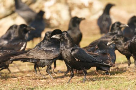 Group of black crows in the nature