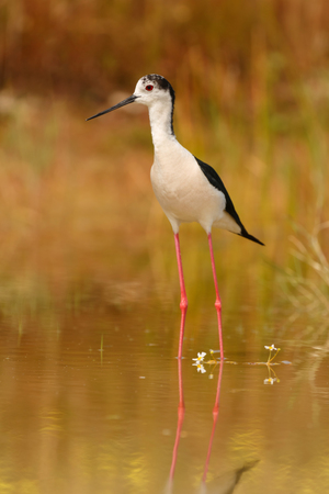 Stilt in a pond looking for food in Spain