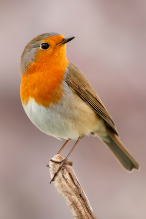 Pretty bird With a nice orange red plumage in the nature Stock Photo