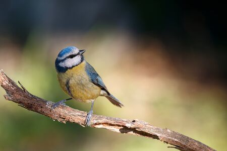 Nice Blue Tit perched on a branch