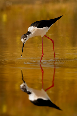 Black-winged in a pond looking for food in Spain Stock Photo