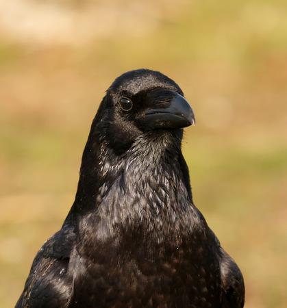 Portrait of black crow. Corvus corone