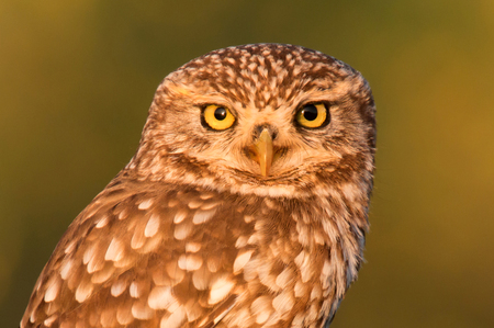 background: Cute owl, small bird with big eyes in the nature