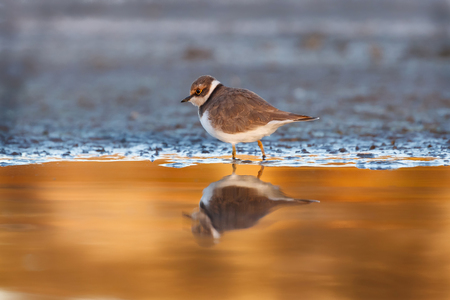 Little cute water bird. Nature background. Common bird Ringed Plover.
