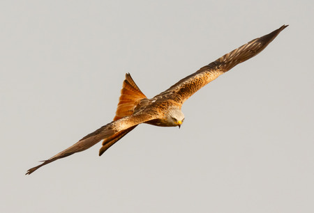 scavenger: Awesome bird of prey in flight with the sky of background