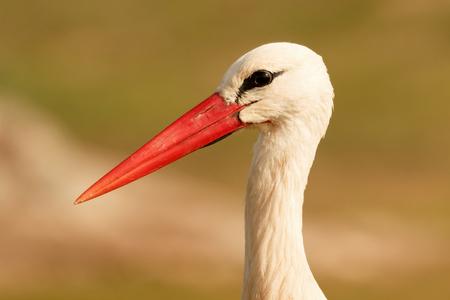 Portrait of a elegant stork on a natural background