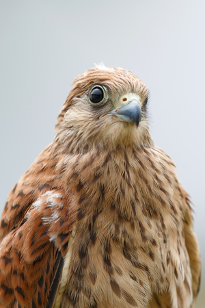 Portrait of a young kestrel with a beautiful plumage