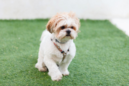 Portrait of a adorable Shih-Tzu dog with a funny face