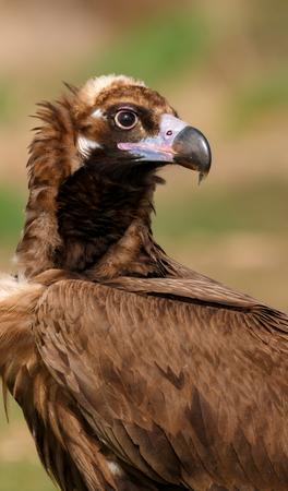 The majestic wild black vulture in its habitat
