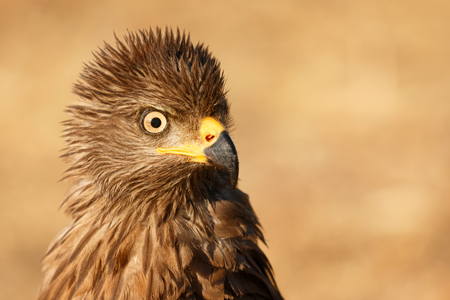 Amazing portrait of a scared kite looking something in the nature Stock Photo