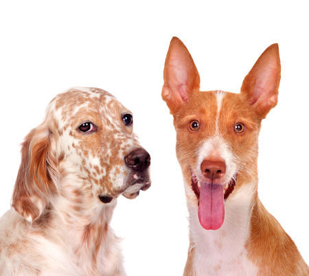 Two beautiful dogs isolated on a white background Stock Photo