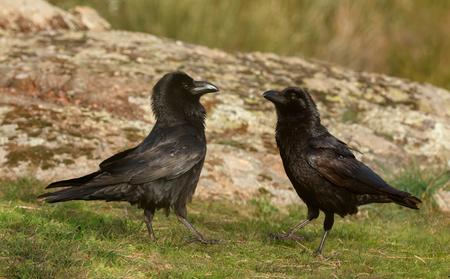 Couple of black crows. Corvus corone  Stock Photo