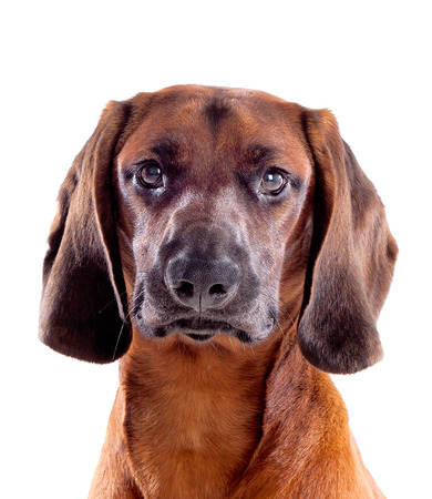Brown hound of Bavarian isolated on a white background