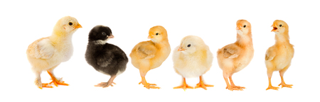 Yellow chickens looking at one black isolated on a white background