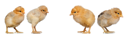 Four yellow chickens isolated on a white background Stock Photo