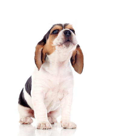Beautiful beagle puppi brown and black isolated on a white background Stock Photo