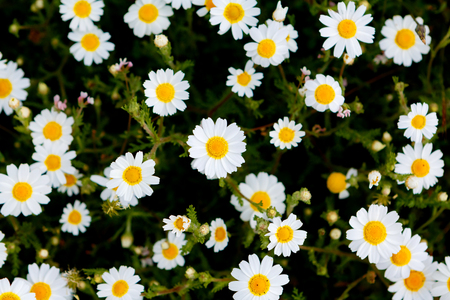 Wild camomile flowers growing on green meadow Stok Fotoğraf