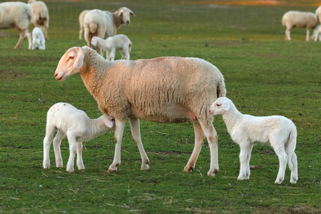 Beautiful lambs next to its mother in the landscape