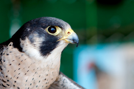 Portrait of a hawk with a beautiful plumage