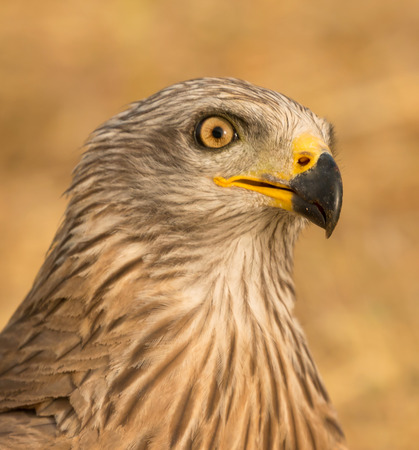 Close-up portrait of a Brown Kite taken while at rest