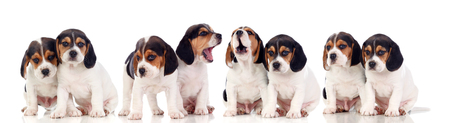 Eight beautiful beagle puppies isolated on a white background