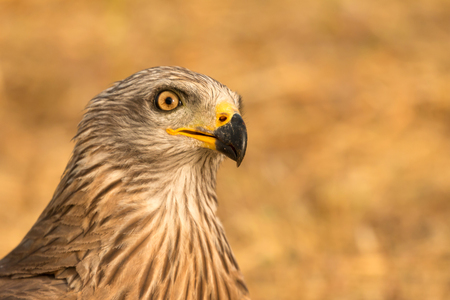 Close-up portrait of a Brown Kite taken Фото со стока