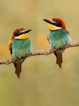 Couple of bee-eaters on a branch looking at each other