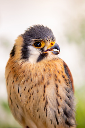 Beautiful profile of a kestrel in captivity