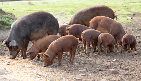 Iberian pigs grazing in a farm in the countryside of Extremadura