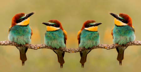 Meeting of four bee-eaters on a branch