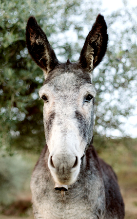 Funny portrait of a grey donkey looking at camera