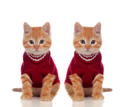 Two beautiful red cats, one dressed and the otherone without clothes isolated on a white background