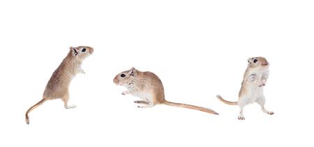 Funny gergils isolated on a white background Stock Photo
