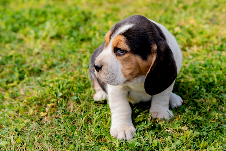 Beautiful beagle puppy brown and black on the green grass