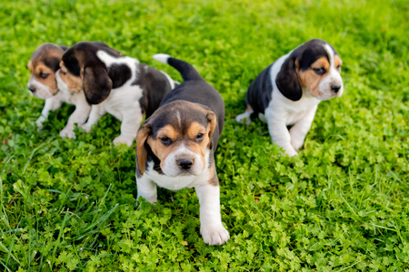 Four beautiful puppies on the grass in the garden Фото со стока