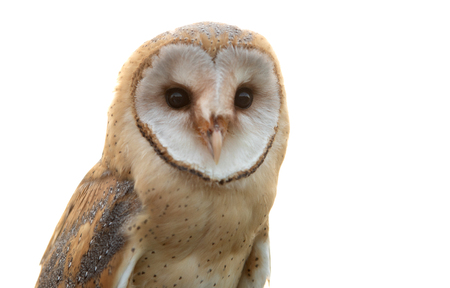 Portrait of white owl with a face as a heart